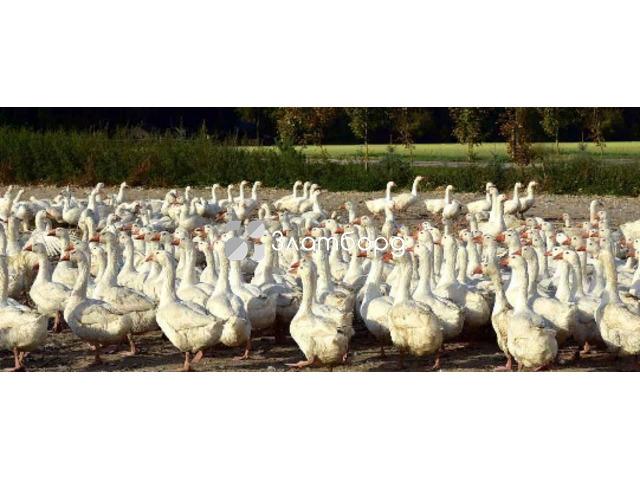 Инвестиции 60 годовых, в ферму по разведению гусей